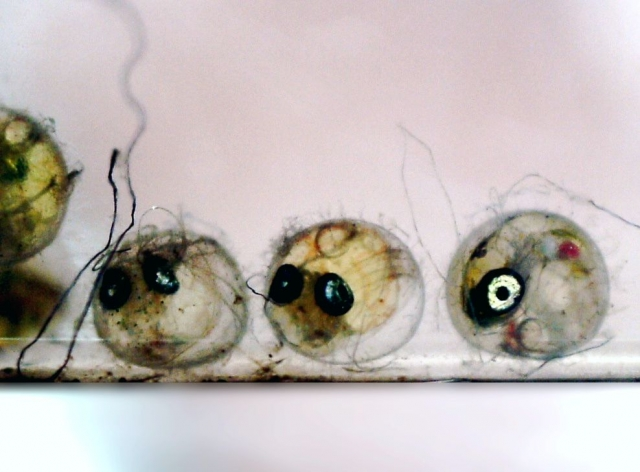 メダカの卵