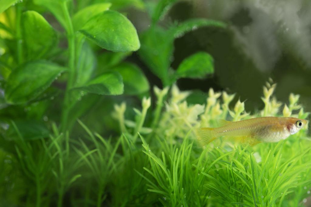 メダカの室内飼育を始めよう!水槽の立ち上げ方と注意点をご紹介します