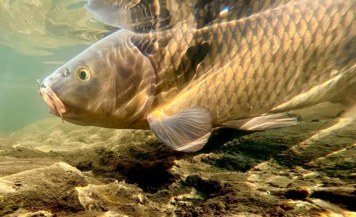 【パンコイ】近所の川や池でコイを釣ってみよう!初めての釣りでも楽しめますよ!