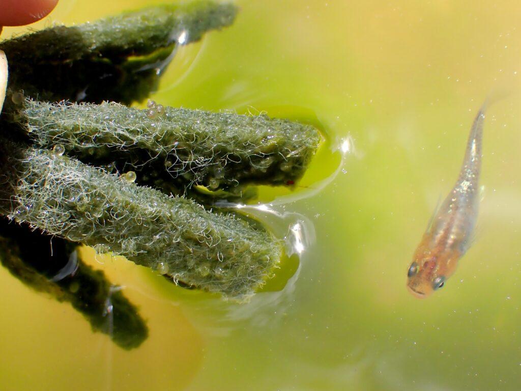 メダカの卵を孵化させるには水温と水質が超重要!孵化しない卵の孵化率を上げる方法