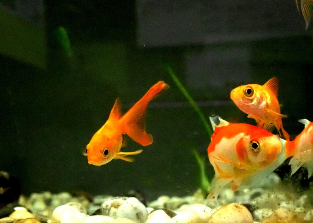金魚の餌やりは1日何回がベスト?餌の頻度・量と与える時間帯について【季節で変わる】