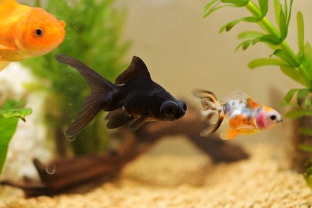 金魚水槽の立ち上げ方と作り方 | 水槽設置から金魚を泳がせる1~12の詳しい手順