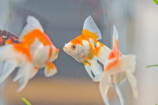 【夏の金魚飼育】金魚水槽の暑さ対策12選!高水温や酸欠で弱らせない方法